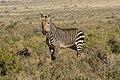 Karoo National Park 2014 35.jpg