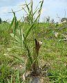 Kelapa sawit baru ditanam (23).JPG