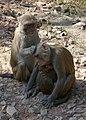Keoladeo National Park-Singes (5).jpg