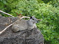 Kerodon-acrobata-asportella.JPG