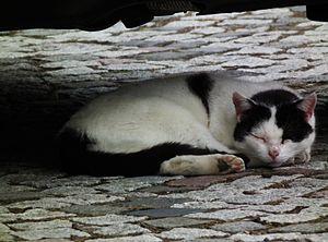 Kißlegg schlafende Kuhkatze Mai 2012.JPG