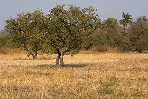 Dark skin - Savannas in East Africa, where most of the hominid evolution of dark skin may have taken place