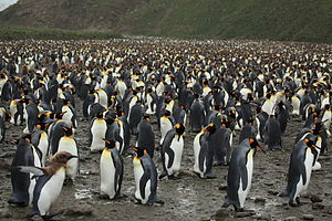 Salisbury Plain, South Georgia - A colony of up to 60,000 King penguins on Salisbury Plain (Aptenodytes patagonicus).