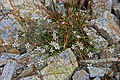Kings sandwort Antennaria kingii clump in grass.jpg