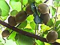 Kiwi Fruits-3047 (6778148290).jpg