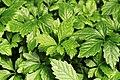 Kluse - Gynostemma pentaphyllum - Jiaogulan 02 ies.jpg