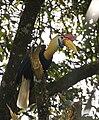 Knobbed Hornbill (Aceros cassidix ) 4.jpg