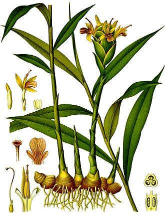 Ginger - 1896 color plate from Köhler's Medicinal Plants