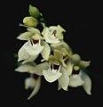 Koellensteinia carraoensis - infl.jpg