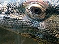 Komodo Dragon Eying Me (2813285902).jpg
