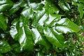 Korina 2014-05-11 Mahonia aquifolium 1.jpg
