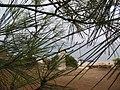 Kroz četinarske iglice - panoramio.jpg