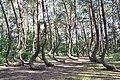 Krzywy las - 002.jpg