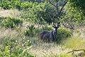 Kudu (3429222801).jpg