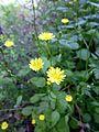 LAPSANA COMMUNIS - LLANERA - IB-625 (Herba de les mamelles).JPG