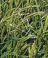 LPCC-731-Panícules d'arròs bord.jpg