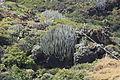 La Palma - Barlovento - Calle La Hoya - Euphorbia canariensis 07 ies.jpg
