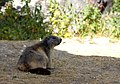 La marmotte de Savoie - Steve.© - (7839444946).jpg