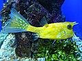 Lactoria cornuta.003 - Aquarium Finisterrae.JPG