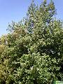 Lagunaria patersonia 1c.JPG