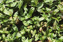 Laksa-bush.jpg