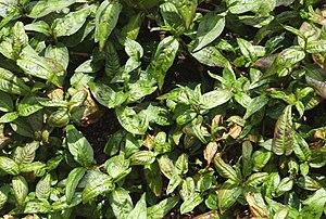 Persicaria odorata - Image: Laksa bush