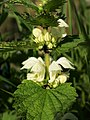 Lamium album (flowers).jpg