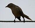Large Grey Babbler (Turdoides malcolmi) in AP W IMG 8013.jpg