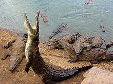 Large group of american crocodiles