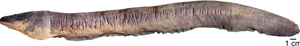 Lateral view of Electrophorus voltai.png