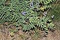 Lathyrus pauciflorus 9730.JPG