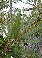 Laurus novocanariensis kz02.jpg