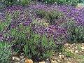 Lavandula stoechas subsp. pedunculata Habitus 2009May10 SierraMadrona.jpg
