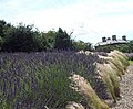 Lavender at Terrington - geograph.org.uk - 494972.jpg