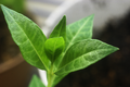 Lawsonia inermis Leaf Detail.png
