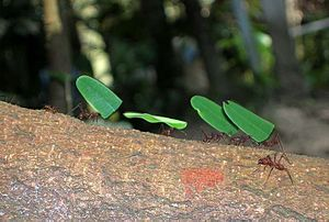 English: Leaf cutter ants , Iquitos , Peru.