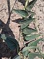 Leaves and Vine of Cucurbita foetidissima.jpg