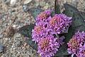Ledebouria ovatifolia 04.jpg