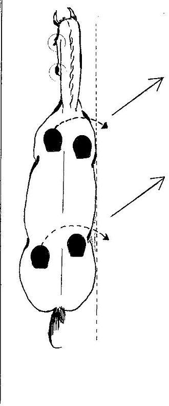 Lateral movement - Image: Leg yield