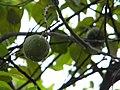Lemons (3634128911).jpg