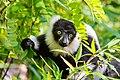 Lemur (24168964808).jpg