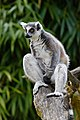 Lemur (26618447017).jpg