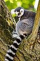 Lemur (27761589738).jpg