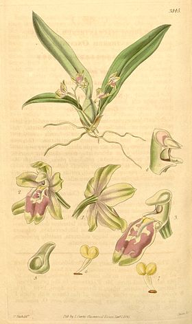 Leochilus oncidioides (as Oncidium macrantherum) - Curtis' 67 (N.S. 14) pl. 3845 (1841).jpg