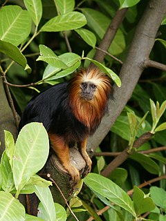 Leontopithecus chrysomelas (in tree).jpg