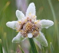Leontopodium ochroleucum, эдельвейс в Горах Алтая 06.jpg