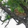 Leopard (Panthera pardus) male resting in a tree ..... (50147214982).jpg