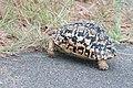 Leopard Tortoise (3429201333).jpg