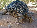 Leopard Tortoise (Stigmochelys pardalis) (6856954140).jpg