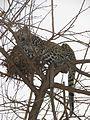 Leopard in nest.jpg